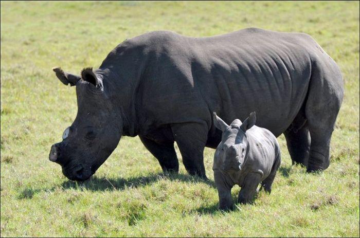 Saving Rhinos (4 pics)