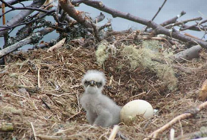 Cute Baby Eagles (25 pics)