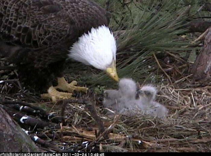 Cute Baby Eagles (25 pics)