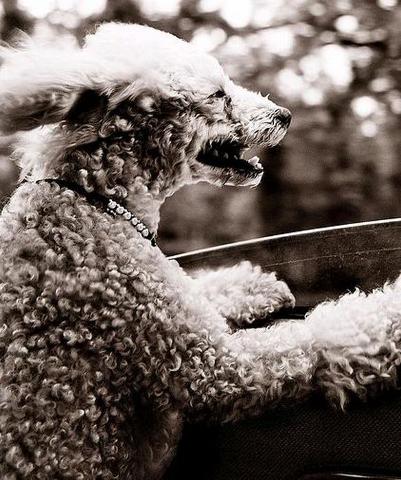 Funny Dog Faces at 50 MPH (50 pics)
