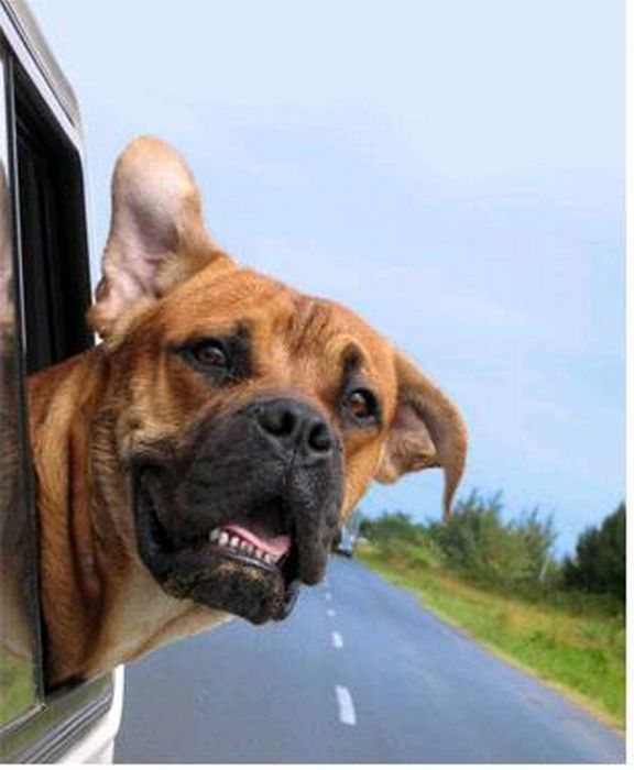Funny Dog Faces at 50 MPH (50 pics)