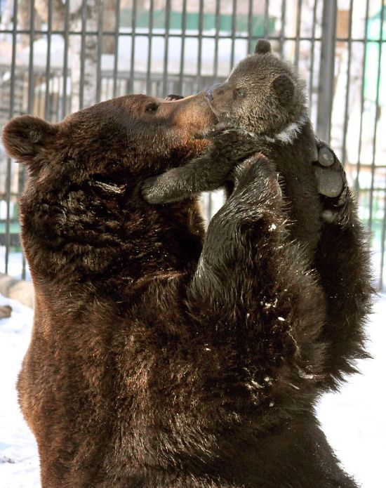 Father Bear Loves His Cub (4 pics)