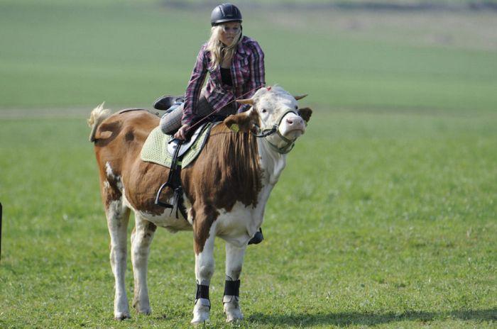 Amazing Show Jumper Cow (10 pics)