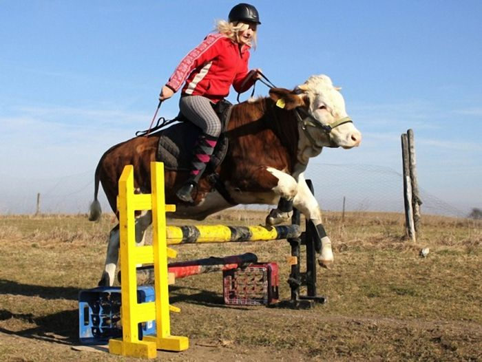 Amazing Show Jumper Cow (10 pics)