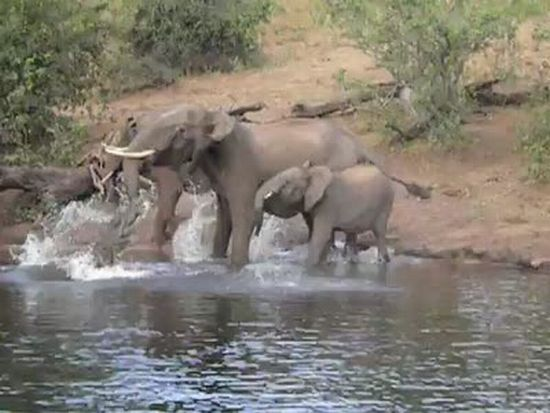 Crocodile vs Elephant