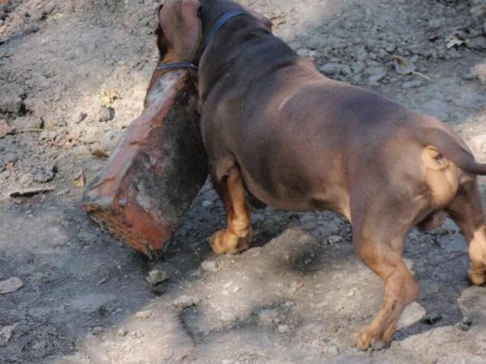 Strong Dachshund (18 pics)