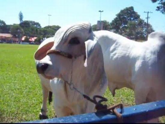 Cow Scares Little Boy