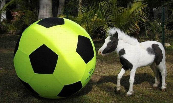 The World's Smallest Minihorse (25 pics)