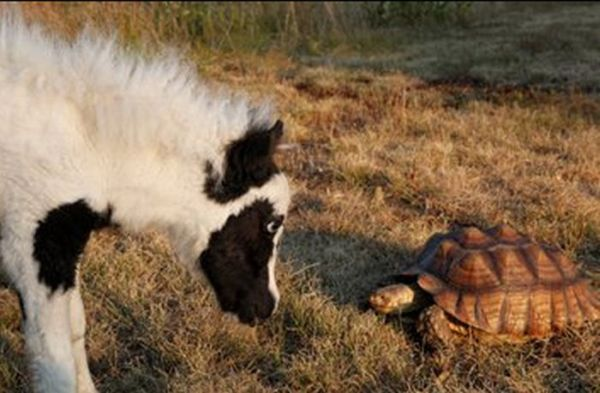 The World's Smallest Minihorse (25 pics)