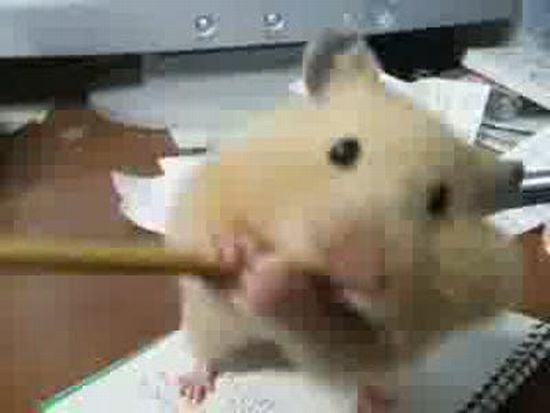 Hamster Eating Pencil Fail