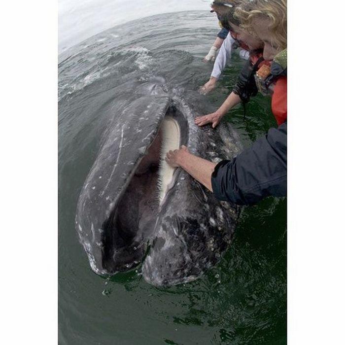 The World's Friendliest Whales (14 pics)