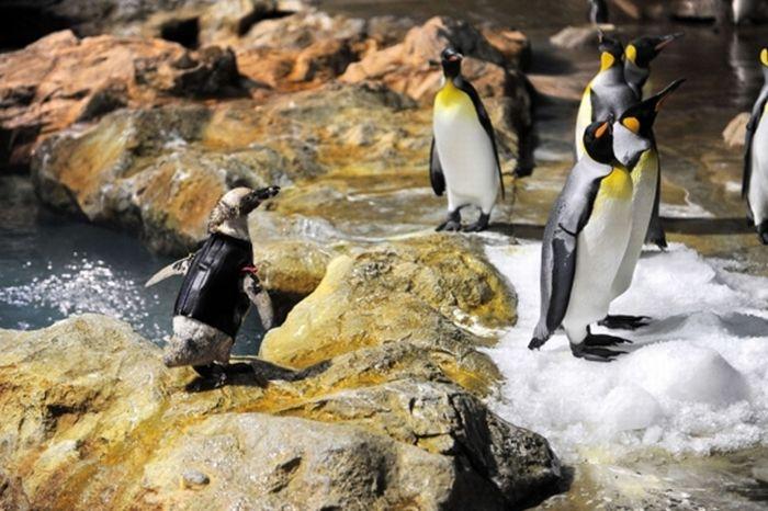 Featherless Penguin (8 pics)