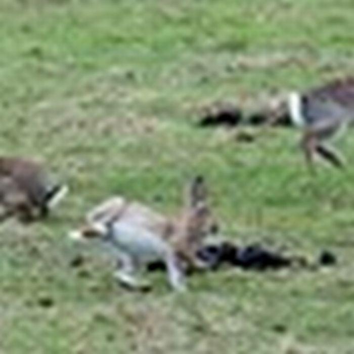 Show Jumping Bunnies 12 Jumping Bunnies 21 Pics