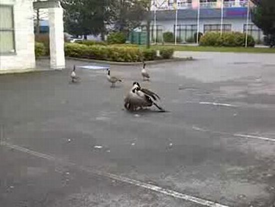 Goose Fight Ended in Tragedy