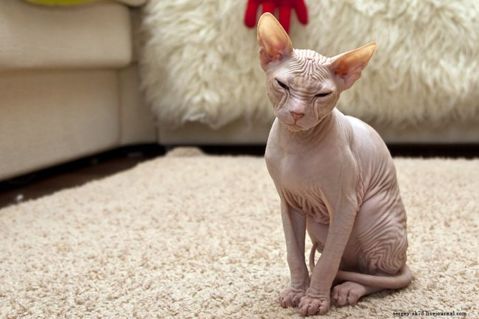 сфинкс фото кот
