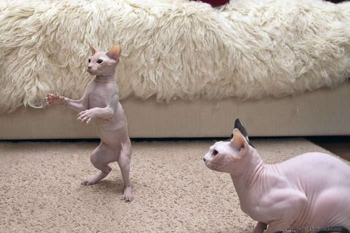 increible el gato sin pelo o   taringa