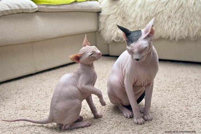 Bold Sphynx Cats (23 pics)