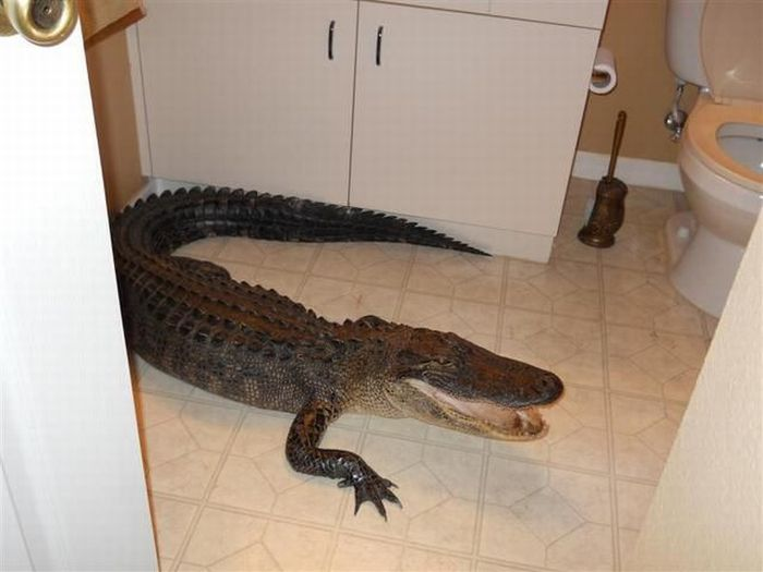 Alligator in the House (8 pics)