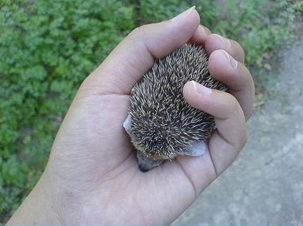 Cute Baby Hedgehog (5 pics)