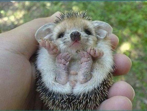 Cute Baby Hedgehog (5 pics)