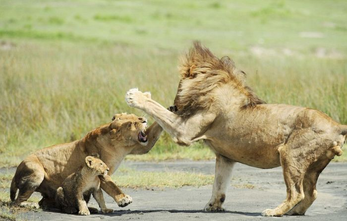 Lion Family. Lioness Protects the Cub (4 pics)
