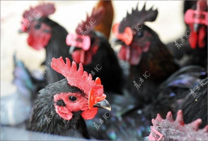 Roosters with Glasses (20 pics)
