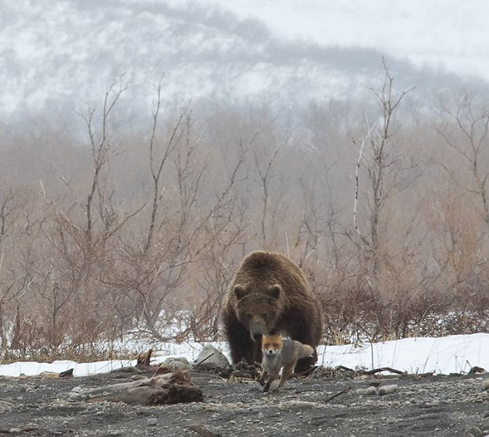 Fox is Being Chased by a Bear (4 pics)