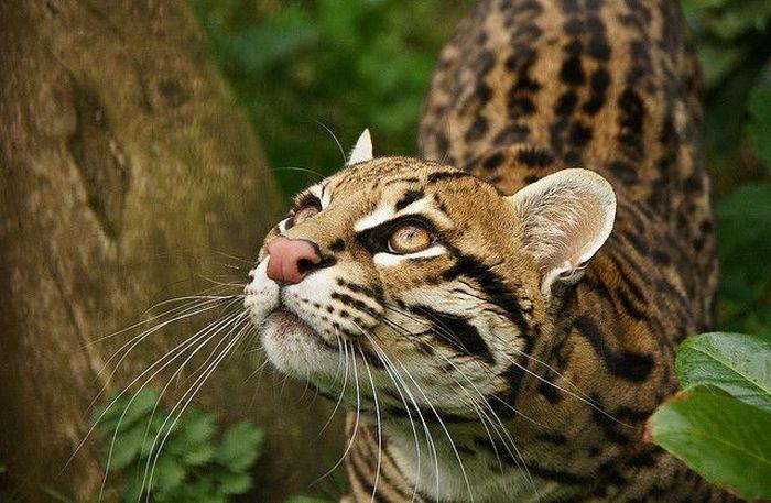 Ocelot Cat (22 pics)