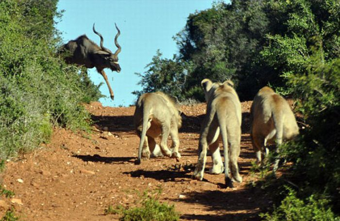 Antelope vs. Hungry Lions (5 pics)