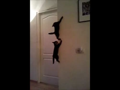 Funny Spider Cats