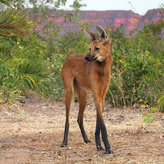 Maned Wolf (7 pics)