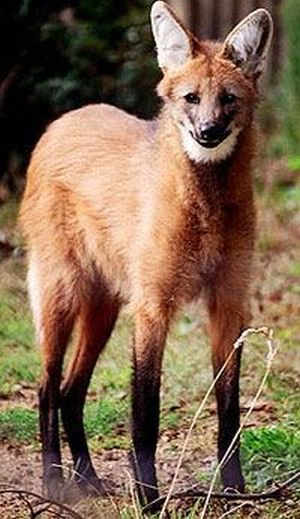 Maned Wolf (7 pics)
