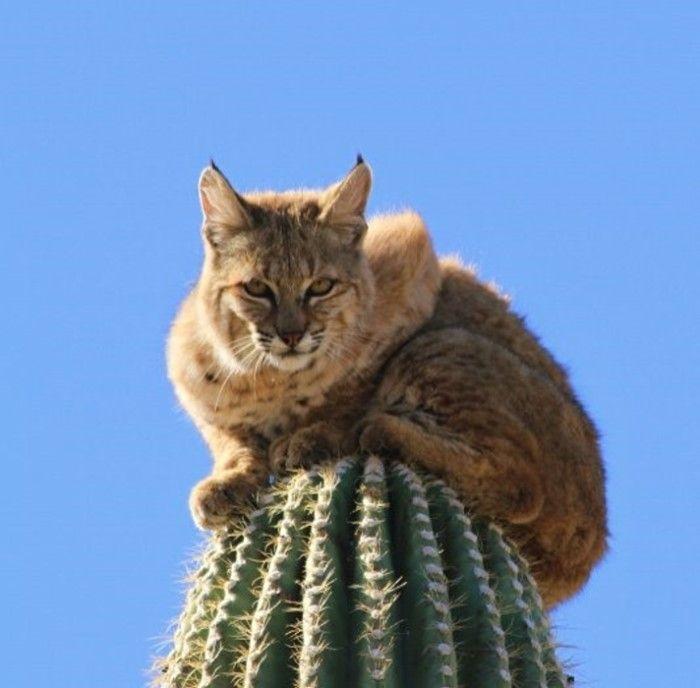 Bobcat Climbs for Its Life (5 pics)