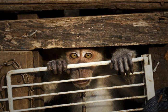 Performing Street Monkeys of Indonesia (16 pics)