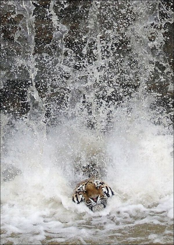 Tiger Jumps Down (4 pics)