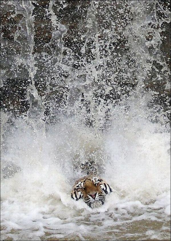 Tiger Jumps Down (4 pics)