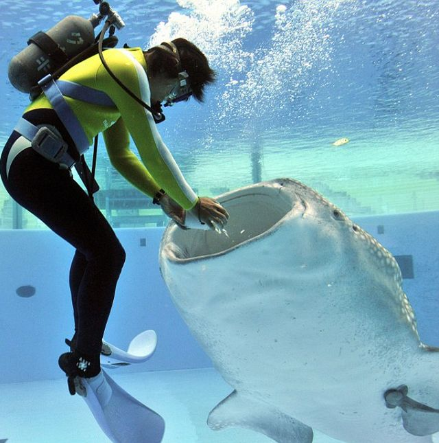 Feeding time for Giant Whale Shark (4 pics)