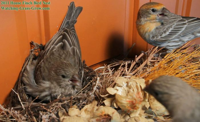 House Finches Nest in a Wreath (24 pics)