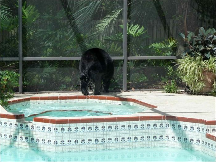 Florida Sun is Too Hot Even for Bears (4 pics)