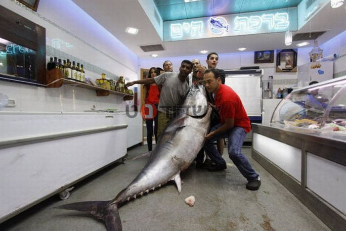 Huge Tuna Fish (7 pics)