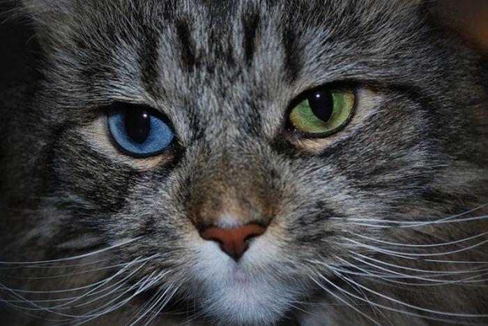 Odd Eyed Cats (22 pics)