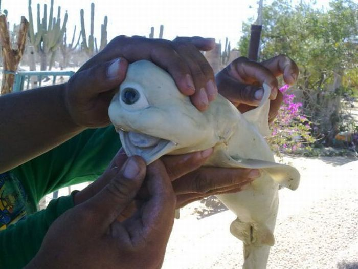 Cyclops Bull Shark (2 pics)