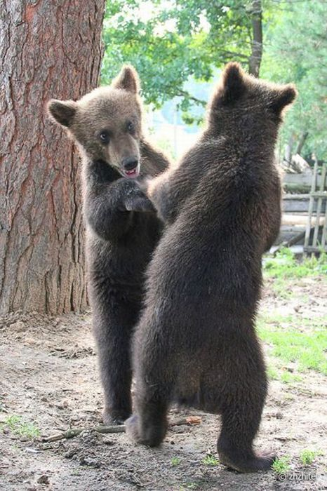 Bear Cubs Love People (16 pics)
