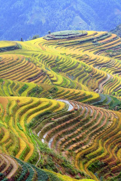 The Amazing Longsheng Rice Terraces (34 pics)