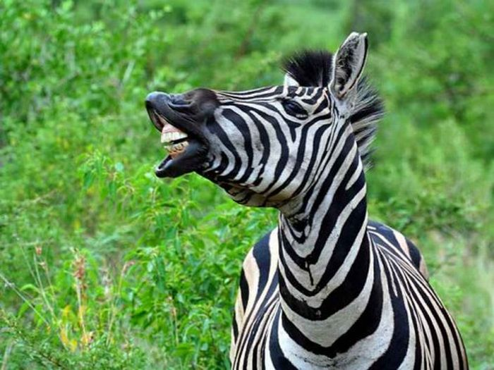 Laughing Zebras (25 pics)