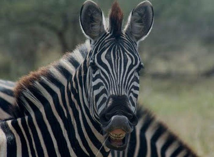 Laughing Zebras (25 pics)