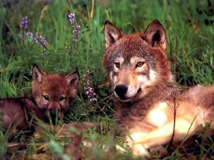 Photos of Wolfs (75 pics)