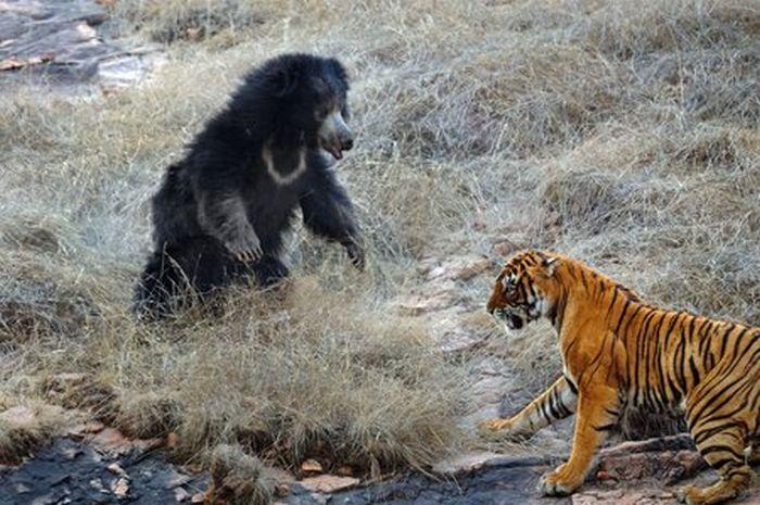 Tiger vs Mother Bear (12 pics)