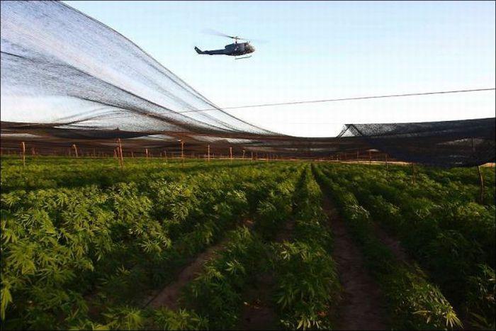 Marijuana Plantation in Mexico (7 pics)