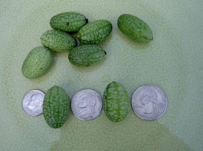 Tiny Watermelon (6 pics)